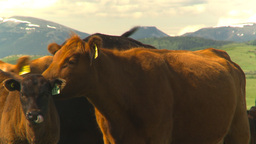 HD2009-6-19-26 cattle and mountains Stock Video Footage