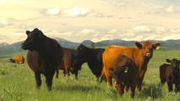HD2009-6-19-28 cattle and mountains Stock Video Footage