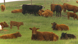 HD2009-6-20-26 cattle 2shot Footage