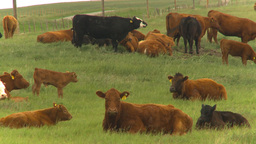 HD2009-6-20-26 cattle 2shot Stock Video Footage