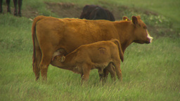 HD2009-6-20-34 cattle 2shot Stock Video Footage