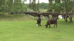 HD2009-6-24-1 cattle railroad trestle Stock Video Footage