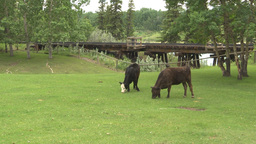 HD2009-6-24-1 cattle railroad trestle Stock Video Footage