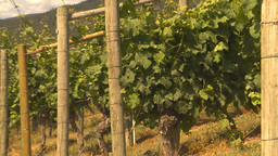 HD2009-6-26-4 vineyards Z Stock Video Footage