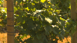 HD2009-6-26-6 vineyards Stock Video Footage