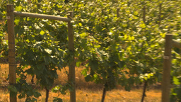 HD2009-6-26-6 vineyards Footage