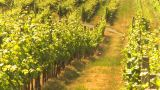 HD2009-6-26-10 Vineyards Z stock footage