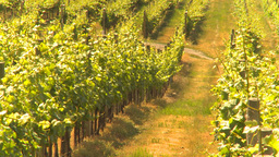 HD2009-6-26-10 vineyards Z Footage