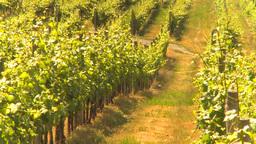 HD2009-6-26-10 vineyards Z Stock Video Footage