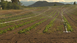 HD2009-6-26-12 strawberry field irrigation 2shot Stock Video Footage