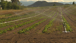 HD2009-6-26-12 strawberry field irrigation 2shot Footage