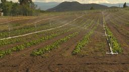HD2009-6-26-12 strawberry field irrigation 2shot Stock Video Footage