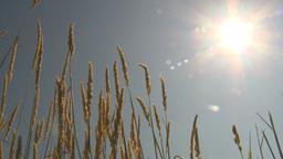 HD2009-6-27-11 wheat in sun Stock Video Footage