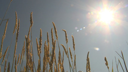HD2009-6-27-11 wheat in sun Stock Video Footage