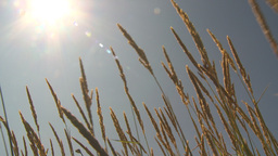 HD2009-6-33-13 wild grass in sun Footage