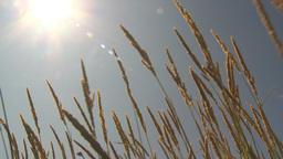 HD2009-6-33-13 wild grass in sun Footage