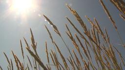 HD2009-6-33-13 wild grass in sun Stock Video Footage