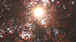 HD2009-6-33-29 sun through red leaves Stock Video Footage