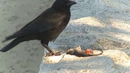 HD2009-6-34-22 crow eating dead mouse Stock Video Footage
