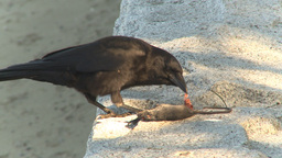 HD2009-6-34-22 crow eating dead mouse Footage