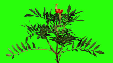 Blooming orange tagetes flower buds green screen,  Footage