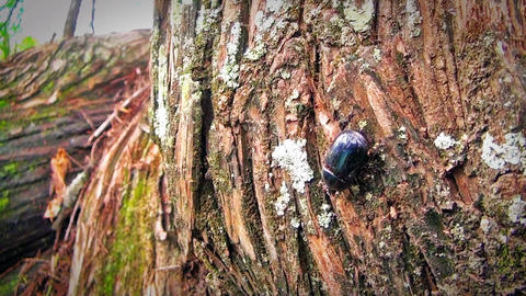 beetle walking on the bark of a tree Footage