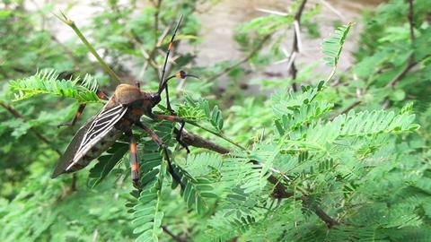 Bug or Rhynocoris iracundus Footage