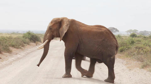 Elephant crossing the road Footage