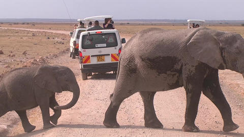 Elephants before the transient road car on a safar Footage