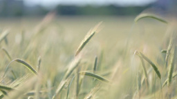 Wheat In Focus With Shallow Depth Of Field stock footage