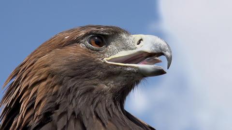 Predatory Bird Looks for Prey Footage