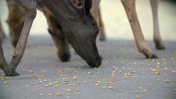 Deer Close Up Eating Corn stock footage