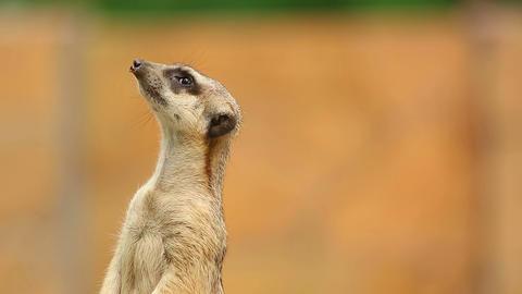 Meerkat Footage