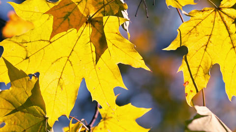 Yellow Maple Leaves Footage