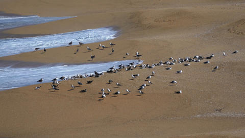 Flock Of Seagulls Sitting On The Beach Ocean With  stock footage
