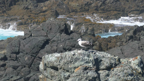 Seagull Sitting On The Rocks stock footage