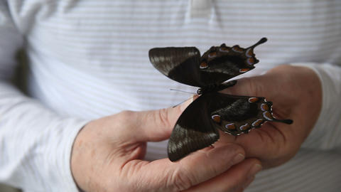 blue mountain swallowtail butterfly Footage