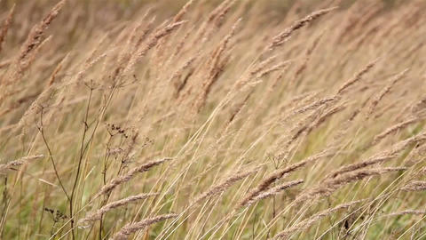 Grass stalk constantly moving along with the breez Footage