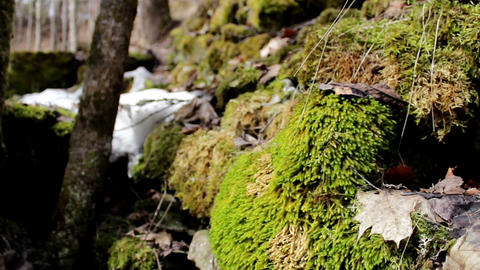 Tree stone covered in moss and some part still cov Footage