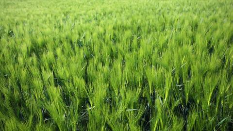 Rye Field In The Wind Footage