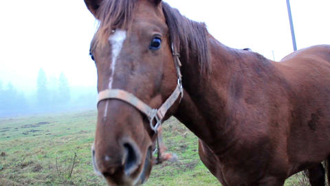 Horse chewing on something then bowing down to eat Footage