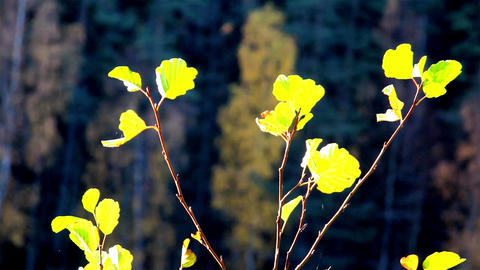 Leaves found at the tree tops Footage