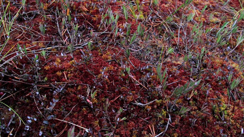 Some green and red grass on the bog swamp ground Footage
