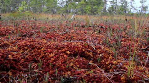 Wind blowing the grasses on bog swamp that are gro Footage