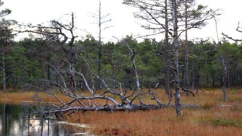 Fallen Old Tree In The Bog Swamp Marsh Land stock footage