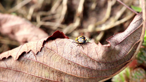 Beetle Crawling On The Fallen Leaf stock footage