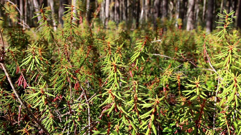Tall Marsh Labrador Tea Rhododendron tomentosum sh Footage