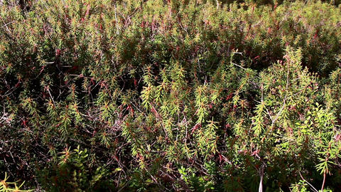 Overhead View Of The Marsh Labrador Tea Rhododendr stock footage