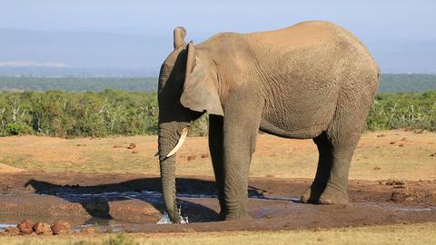 African elephant at waterhole Footage