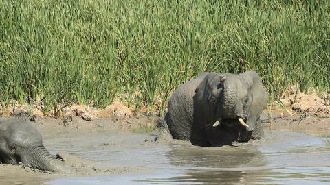 African Elephant In Mud stock footage